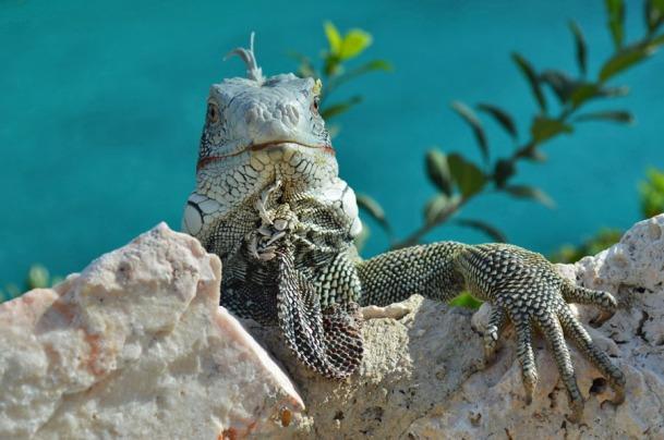 iguana, Curacao