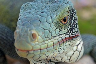 iguana close up, Curacao
