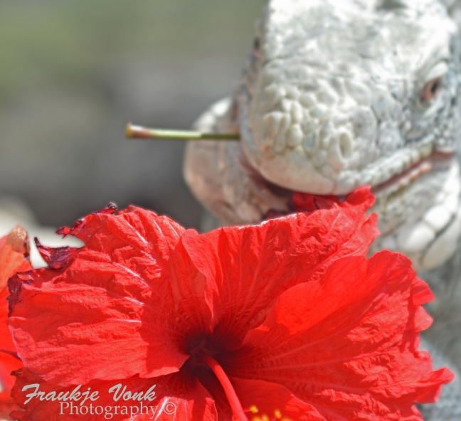 iguana with hibiscus, Curacao 2016002 FVP