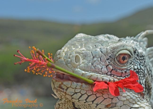 iguana with hibiscus, Curacao 2016003 FVP