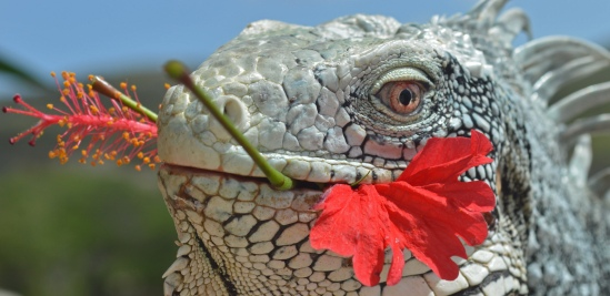 iguana with hibiscus