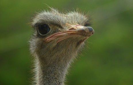 ostrich in Curacao